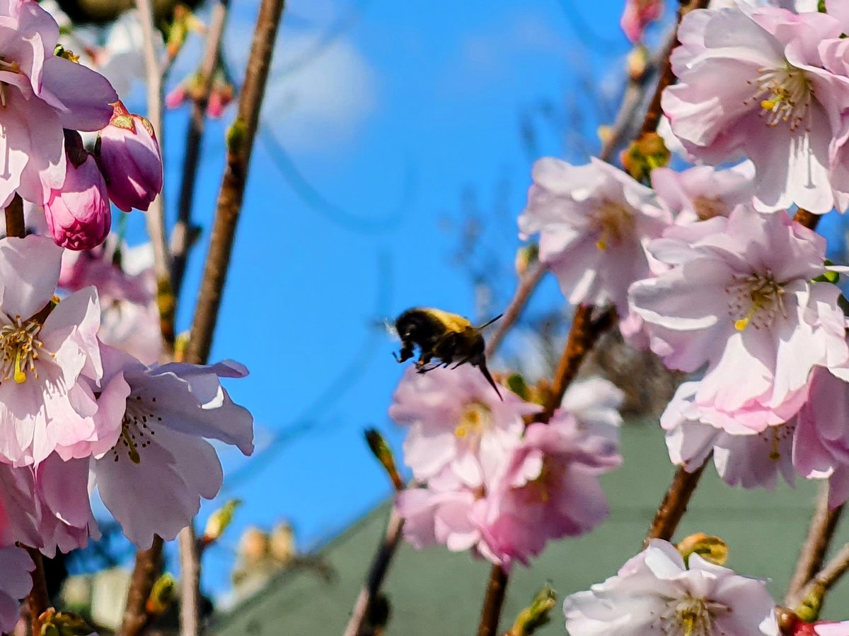Cherry blossom flowers with a bee and blue sky background