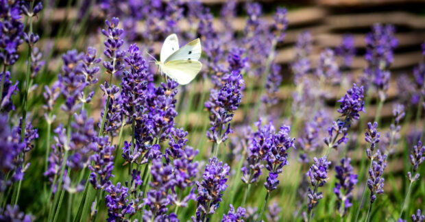 Field of lavender with white butterfly