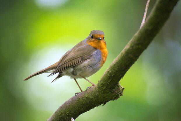 Robin red breast (bird sitting on a tree branch